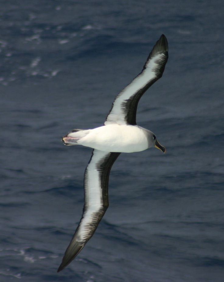 Grey-headed Albatross (Thalassarche chrysostoma)  nest in colonies on several islands in the Southern Ocean, with large colonies on South Georgia in the South Atlantic, & smaller colonies on Islas Diego Ramírez, Kerguelen Islands, Crozet Islands, Marion Island, and Prince Edward Islands in the Indian Ocean, Campbell Island & Macquarie Island south of New Zealand, & Chile.