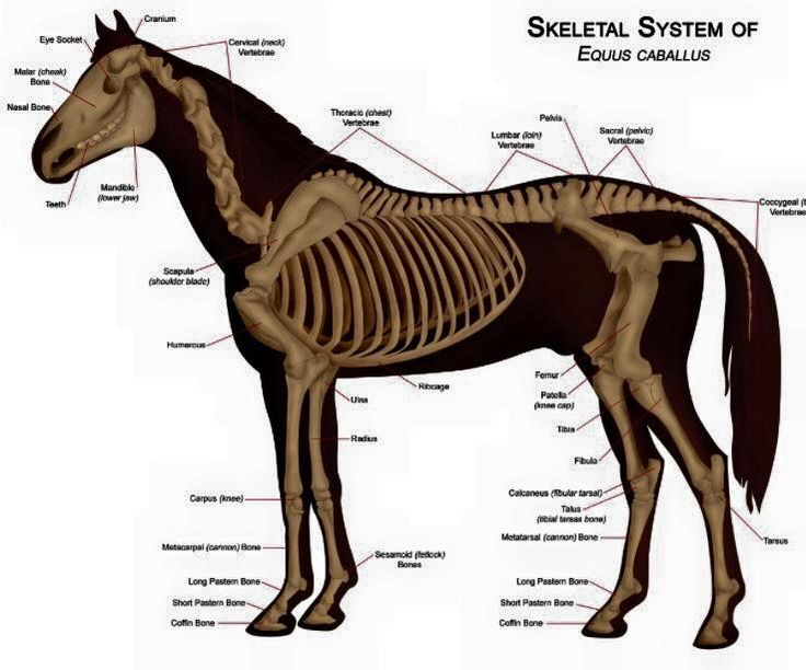 21 best Equine Health & Wellness images on Pinterest | Horse anatomy ...