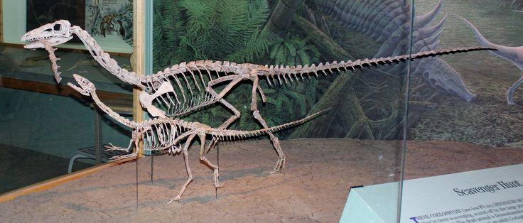 Répliques de deux Coelophysis bauri, Denver Museum of Nature and Science. Dinosauria, Theropoda. Coelophysidae, Coelophysinae. Auteur : Bradley Gordon, 2012.