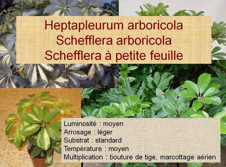 Heptapleurum arboricola Schefflera arboricola Schefflera à petite feuille