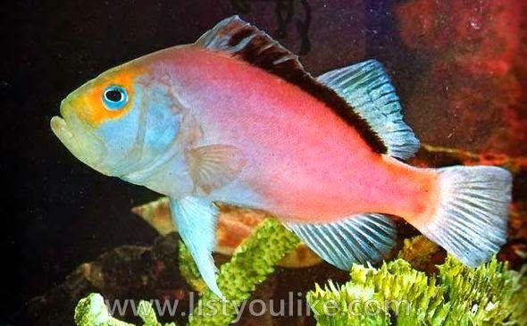 Lilac Snapper Fish
