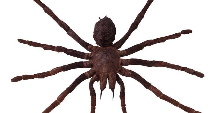 Cómo repeler a las viudas negras y a las arañas violín . De las miles de especies de arañas en los Estados Unidos, solamente la viuda negra y la araña violín son capaces de matar a un humano. Normalmente, una mordedura aplica muy poco veneno como para matar, pero los niños y las personas de sistema inmune débil están en mayor peligro. Las arañas viuda negra se presentan en tres variedades: la viuda ...