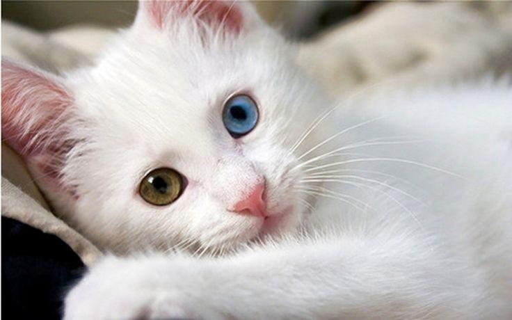 Van Kedi Cinsi – Van Kedisi - http://incelebeni.com/kedi/van-kedi-cinsi-van-kedisi/20131283 - Orta büyüklükteki başı ile üçgen şeklinde yüzleri vardır. Özellikle elmacık kemikleri biraz çıkıktır. Gözler badem şeklinde ve eğik bir şekilde yüzde yerini almıştır. Yuvarlak ve belirgin göz bebekleri vardır. Van kedilerinin bu kadar bilinmesinin asıl sebebi...
