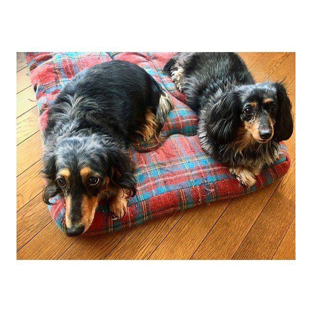 2018.03.03 saturday ☀️ photo by me : #dog #dogs #dachshund #miniaturedachshund #saitama #japan #犬 #愛犬 #ダックス #ミニチュアダックス #シルバーダップル #埼玉 #日本 : : 年季の入ったお座布団 。 どうか 見て見ぬふりを🤷🏻♀️ 笑 : #きーちゃんりーちゃん #わが家のモップ犬 #カメラ目線いただきました #そろってこっち見るのはレア級 #お年を召した愛犬 #イヌスタグラム #inustagram  #ダックス好きな人と繋がりたい #iphone #カメラ女子 : : Ayano's #japanlife 💫