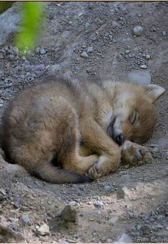Wolf puppy sleeping -   Mongolian wolf  #by  Fisherman01