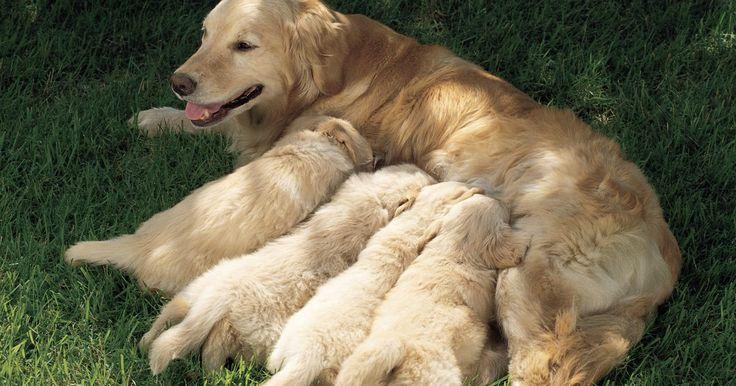 Cómo saber si tu perra está lista para parir. Durante el parto de una perra, hay varias etapas que la hembra debe pasar antes del nacimiento de los cachorros. Justo antes de que empiece el parto, la temperatura de la perra comenzará a caer desde 101 grados Fahrenheit (38,33 ºC) a menos de 97 grados Fahrenheit (36,11 ºC). Después de este descenso de la temperatura, tu perra entrará en una ...