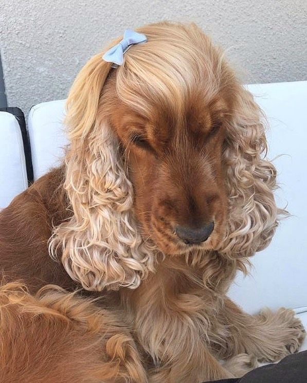 Country Living On Instagram This Dog S Hair Is More Beautiful Than Mine Will Ever Be But It S Fine I M Fi Spaniel Puppies Cocker Spaniel Cocker Spaniel Dog