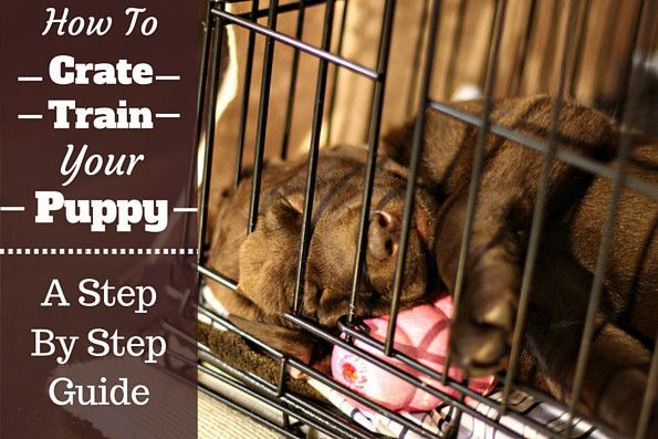 During crate training, a choc lab puppy sleeps in a crate with face pressed against bars