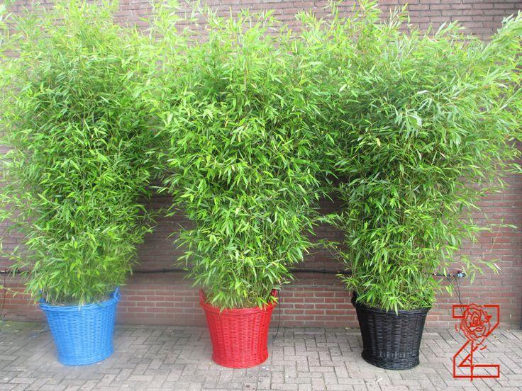 Bamboe planten te huur