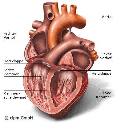 Wie ist unser Herz aufgebaut? | Herz-Kreislauf Hexal