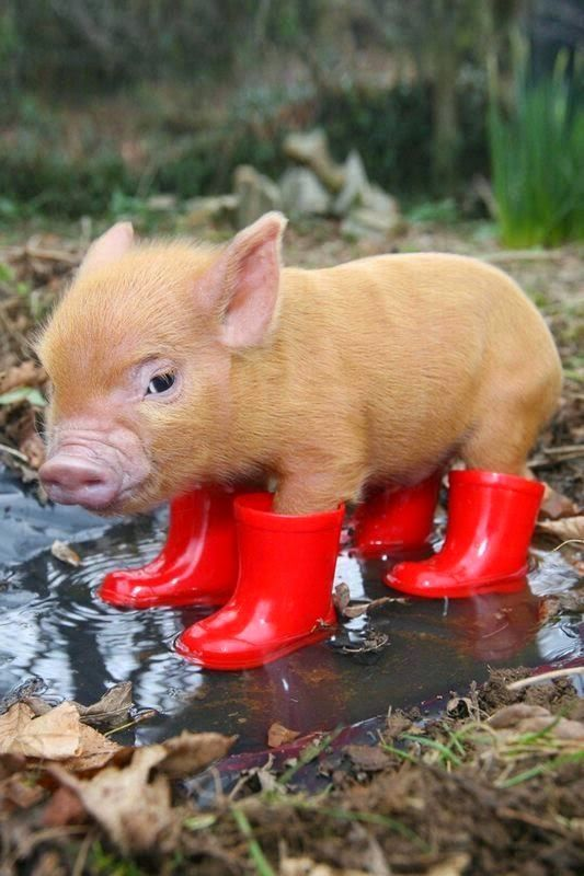 If theres one thing cuter than a micro-pig, it has to be a micro-pig wearing wellies