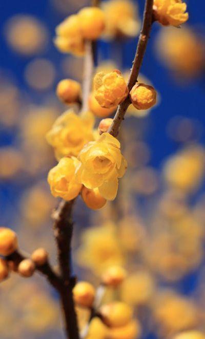 Chimonanthus - ©/cc TANAKA Juuyoh - www.flickr.com/photos/tanaka_juuyoh/5362831211/