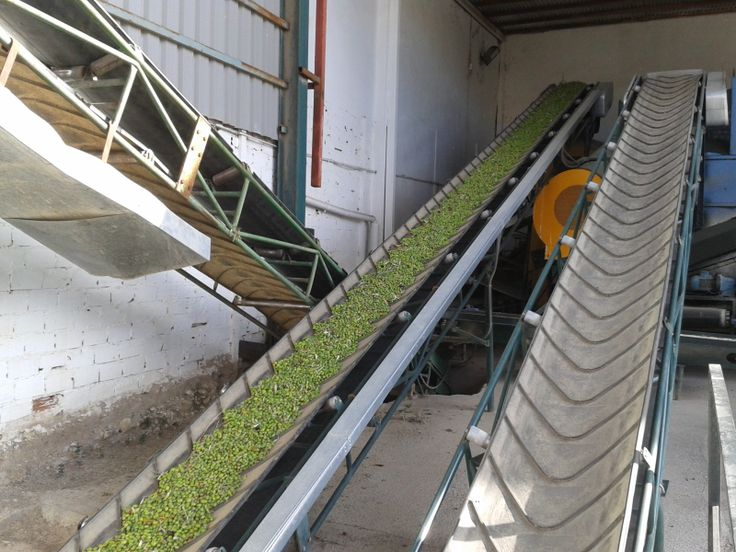 Olives on the conveyor belt to be cleaned, washed and separated