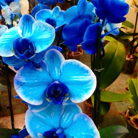 Orchidee blu. Wow.