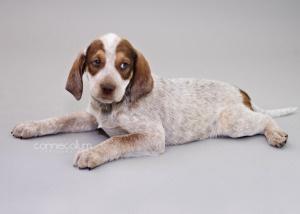 "American English Coonhound ""Dog Breeds"""