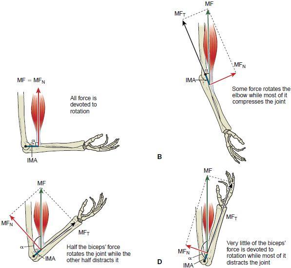 Biomechanics of the Biceps Brachii Moment Arm- 100% of ...
