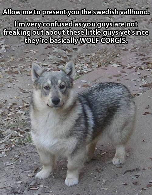 Wolf Corgis! It's a thing!!! A REAL THING!!!  I'm so glad to find this!  When I lived in MS, our backyard neighbor's dog kept getting out... we thought he was a German shepherd mixed with a Corgi... we called him Dog de la Fleas.  :P
