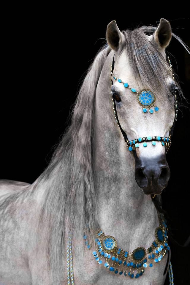 Nesj El Marciano (Marwan Al Shaqab x Nesj El Khisaya by Khidar) 2009 Arabian Stallion