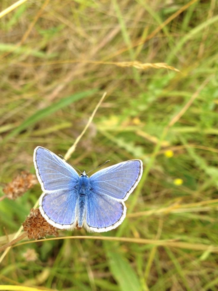 Common Blue butterfly UK