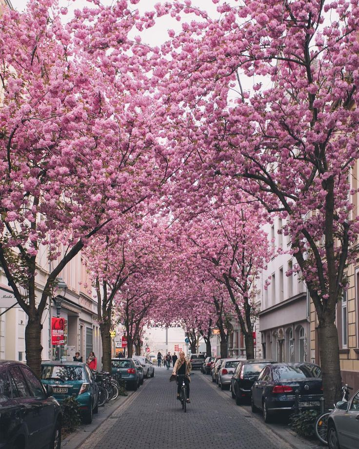 The Incredible Cherry Blossom Tunnels in the Old Town of Bonn, Germany     «TwistedSifter