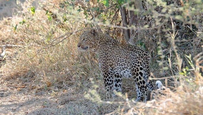 Leopard on the Pafuri Walking Trail