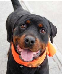5/1*****Meet Brewster: For the Love of Dog - Rottweiler Rescue Resources for New England and the North East US. Rotts On Parade Newsletter