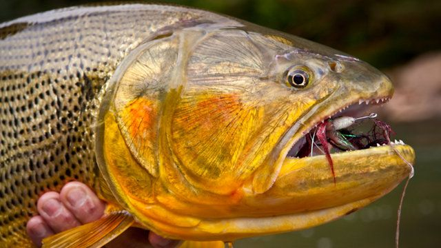 """Devil's Gold"" - Fly Fishing for Golden Dorado in Bolivia by Castaway Films. The name of the village Oromomo — the access point to the Pluma and Itirisama Rivers in Bolivia — means ""Devil's Gold."" Apparently, the elders who named the village felt that riches of the region were somehow cursed. But for fly fishers ""Devil's Gold"" reflects brightly, referring to golden dorado, one of the wildest of freshwater fish. Castaway Films spent a week on location shooting deep in the Bolivian jungle at…"