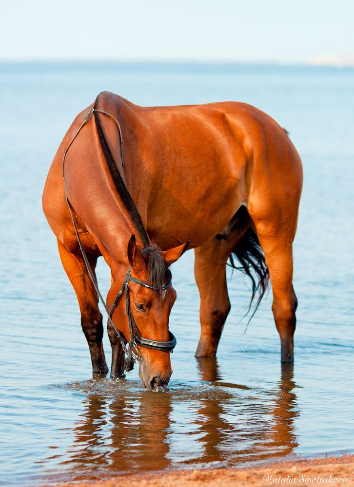 Horse Photography Bay Horse In Water By Natalia