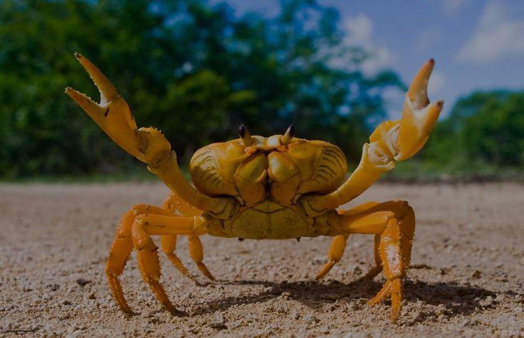 Yellow land crab. Cuba. By Gudkov Andrey