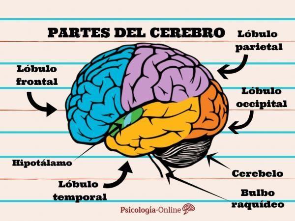 Sistema Nervioso Central Funciones Y Partes Apuntes Geniales Anatomia Del Cerebro Humano Dibujo Del Sistema Nervioso Cerebro Humano