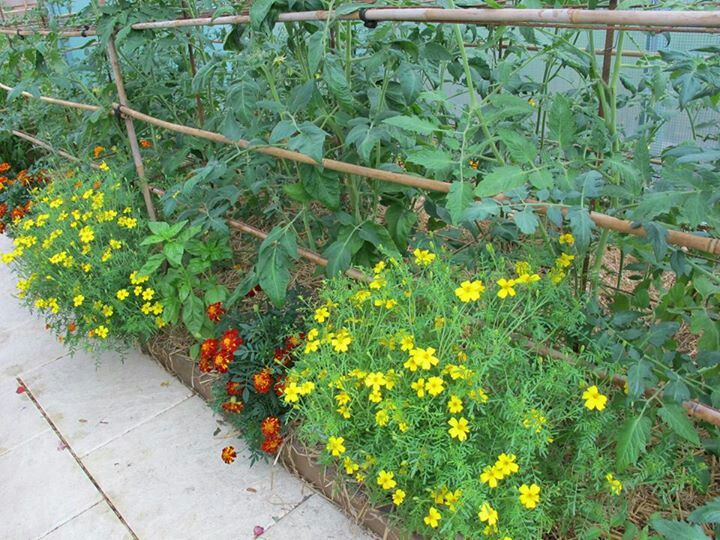 31 Best Images About Companion Planting For Tomatoes On 640 x 480