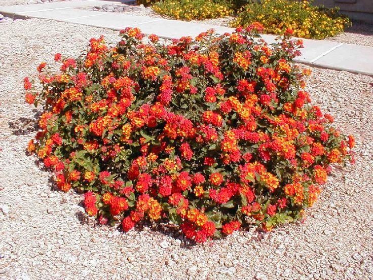 Lantana Radiation Dry Slope Plants Outdoor Gardens