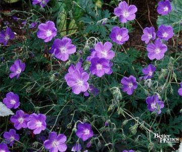 17 best images about purple perennials on pinterest sun for Purple low maintenance plants