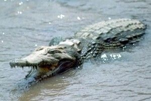 #WILDLIFE #SWD #GREEN2STAY Attacked by croc, man drowns in Cancún He ignored warning signs and drowned after being dragged under - See more at: http://mexiconewsdaily.com/news/attacked-croc-man-drowns-cancun/#sthash.F7RJoyiJ.dpuf