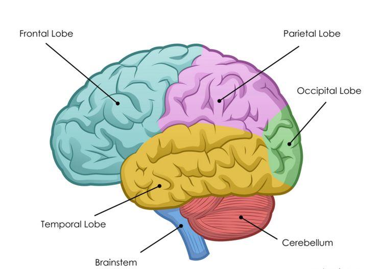 best 25 human brain diagram ideas on pinterest diagram. Black Bedroom Furniture Sets. Home Design Ideas