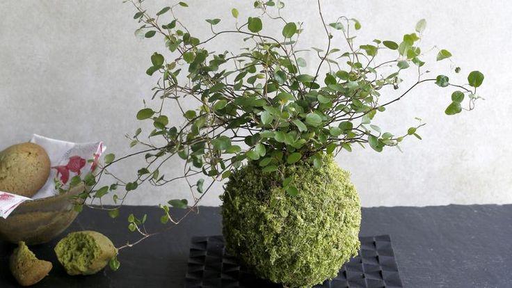 Kokedama de muehlenbteckie ( Muehlenbeckia complexa), plante rampante originaire de Nouvelle-Zélande, réalisé par Adrien Bénard.