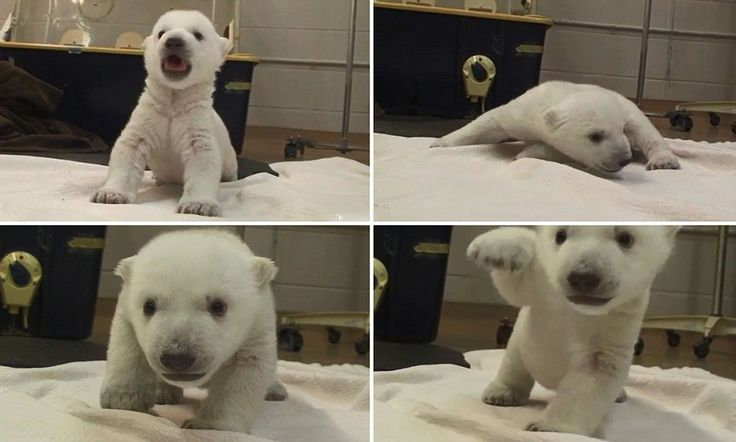 Paws for thought! Watch the moment an adorable polar bear cub takes his first ever steps (with just a few wobbles)