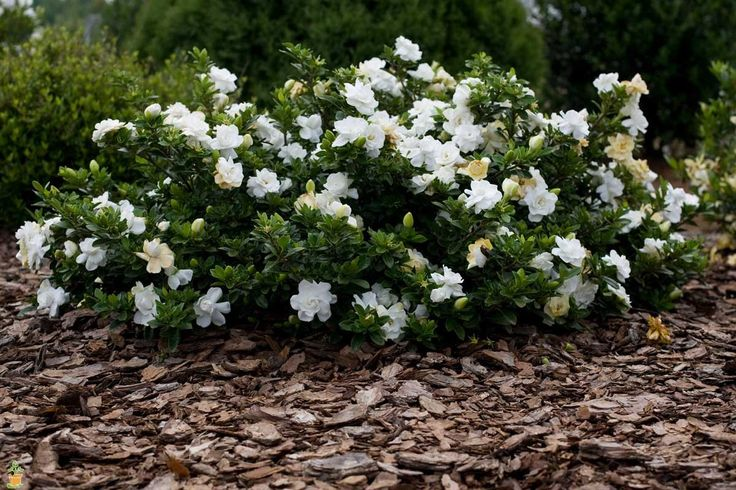 Frost cold hardy gardenia.  Sweet intoxicating sent! Snowy white blossoms.  Plant at any time of the year.