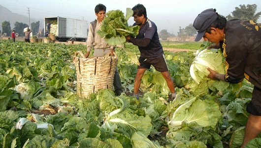 Workers harvest crops in Lima, Peru. | Harvest Time | Food ...
