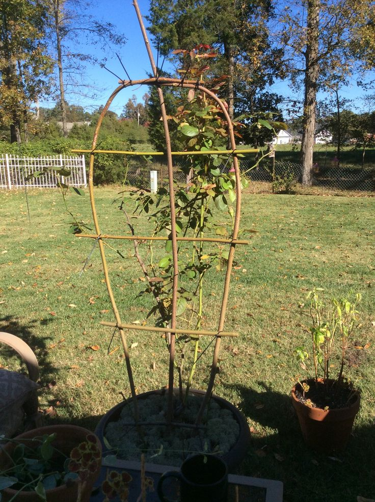 My husband made a rose trellis using Silky Dogwood branches. I Love you PL