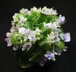 Miniature African Violet $6.50 available mail order.  100's of specimens. Just lovely.
