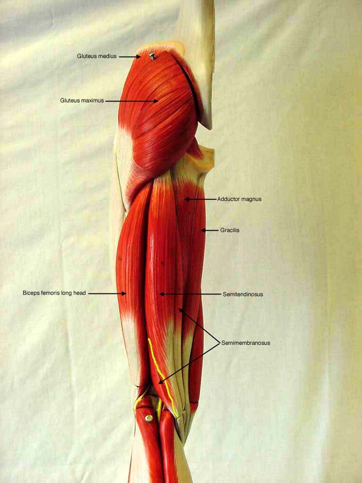 labeled posterior thigh muscles | Anatomy | Pinterest