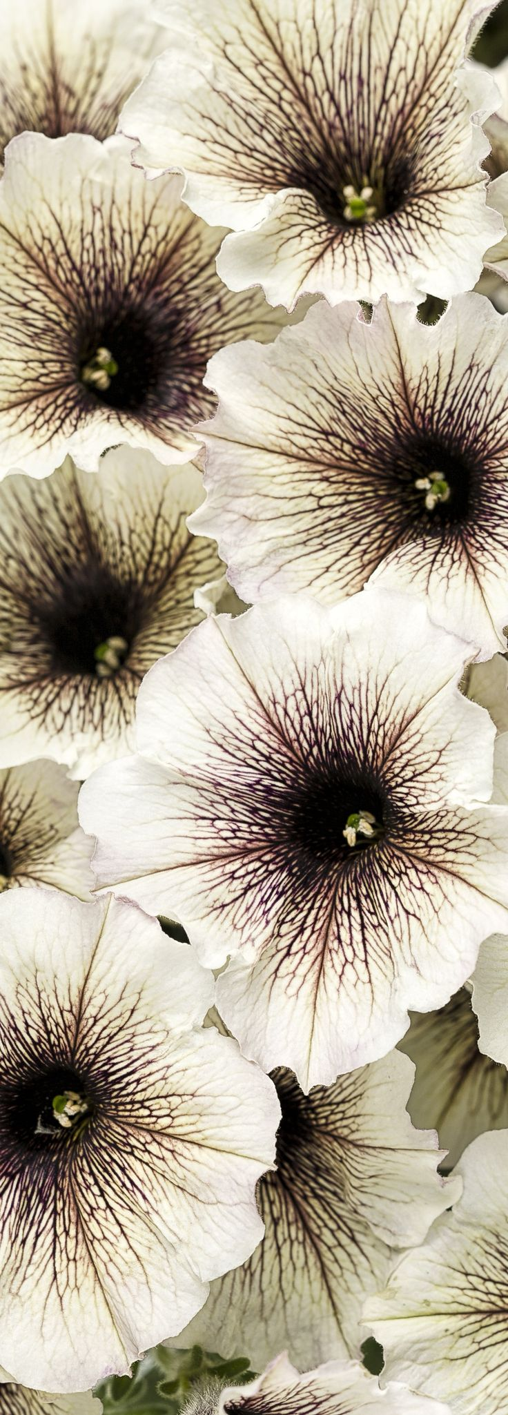 Supertunia Latte can add an unusual coffee and cream color combo to your garden. Beautiful when combined with reds and other darker colors. NEW THIS SPRING.