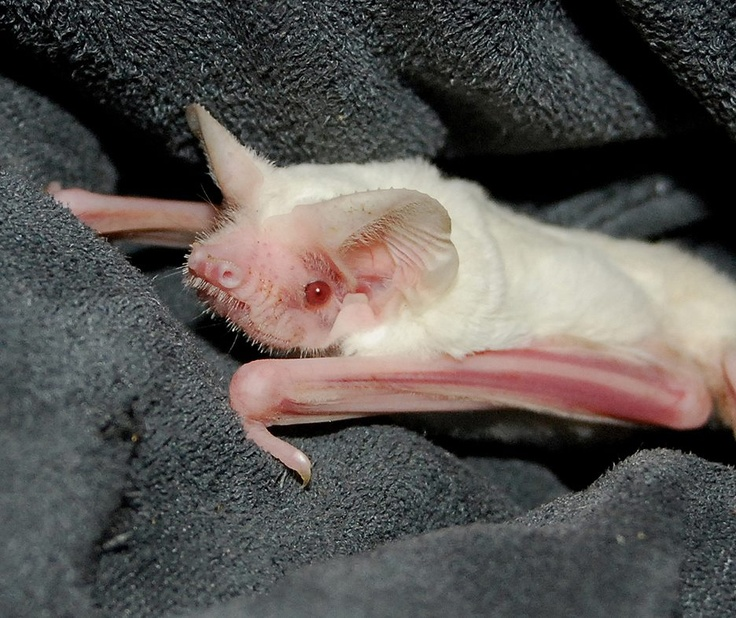 this is a very rare albino bat its a baby bat