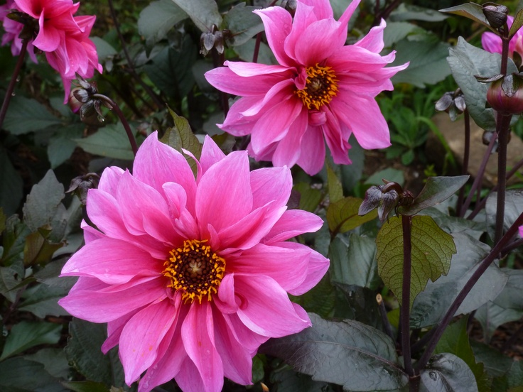I found the dahlia Fascination fascinatin'. www.thedirtdiaries.com: Dahlias Fascinators, Pink Flowers, Gardens Inspiration, Bright Pink, Foliage Gardens, Gardens Diy, Goth Gardens, Fascinators Fascinatin