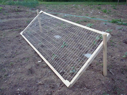 Growing squash and cucumbers on a trellis... saves room and the plants!