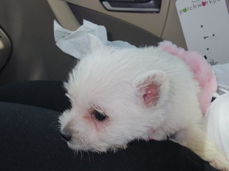 Anniversary surprise- Maisy our new 6 week old Westie.