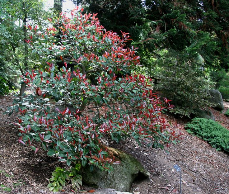 Red Tip Photinia Fertilizer: How And When Should I Feed My Red Tip Photinia...  Red tip photinia provides a lovely backdrop in the garden. Keeping the shrub healthy includes feeding phontinia. Read this article for more information on when and how to fertilize photinia plants.