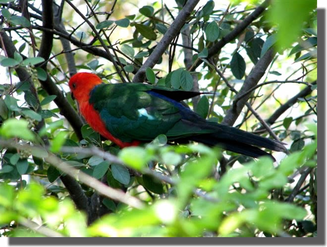 KING PARROT - SEE OUR SLIDESHOW OF AUSTRALIAN NATIVE ANIMALS, LANDSCAPES & SCENERY AT MUDGEE NSW