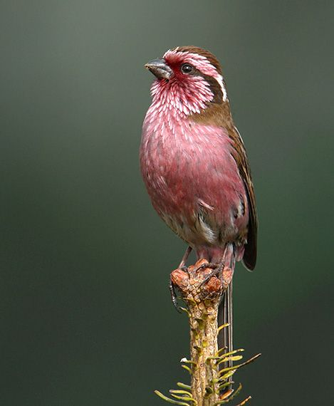 The Himalayan White-browed Rosefinch is a true finch species. It is one of the rosefinches that might belong in the genus Propasser. It is found in Afghanistan, Bhutan, India, Nepal, and Pakistan.